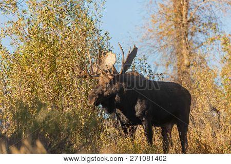 A Shiras Moose Bull During The Fall Rut In Wyoming