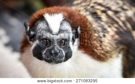 Geoffroys Tamarin (saguinus Geoffroyi).  A Type Of Small Monkey, Found In Panama & Colombia. Predomi