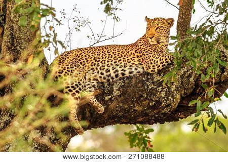Side View Of African Leopard Species Panthera Pardus, Resting In A Tree Outdoors. Big Cat In Kruger
