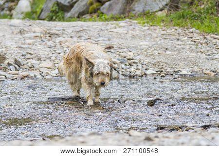 Adorable Dog Outdoor In A Park Along A River, Bichon Havanais Breed