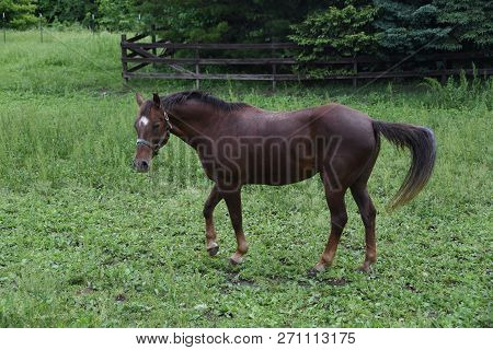 Brown Horse Grazing In A Field. Horse Eating In The Green Pasture. Brown Horse In A Green Field. Gra