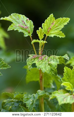 Ill Leaves Of Red Currant Infected By Gallic Aphids (selective Focus Used)