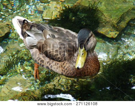 The duck at the source of the Bosna River in Sarajevo poster