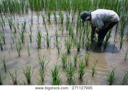 Transplant Rice Seedlings Is Removal Of Seedlings From The Plots. Must Remove Mud At The Roots. Then