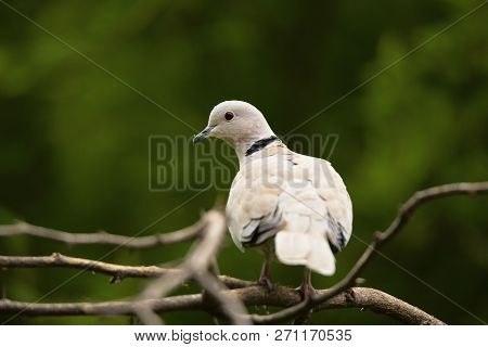 Eurasian Collared Dove, Streptopelia Decaocto, Jhalana, Rajasthan, India.