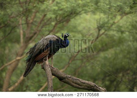 Indian Peafowl, Pavo Cristatus On A Tree, Jhalana, Rajasthan, India.