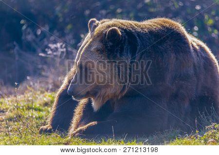 European Brown Bear Resting On The Ground (ursus Arctos)