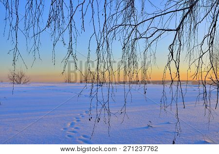 Birch Branches On A Background Of Pink Wintry Sunset Landscape. Animal Tracks On The Snow, Blue Shad