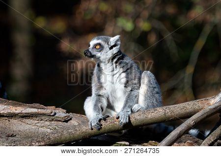 Lemur Catta On The Tree. The Ring-tailed Lemur (lemur Catta) Is A Large Strepsirrhine Primate And Th