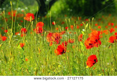 Fresh red puppy meadow, natural spring landscape, flower field in the sunny forest