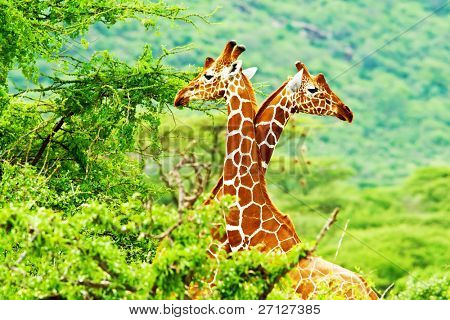 African giraffes family, two animals fighting with necks, beauty of wildlife, safari travel poster