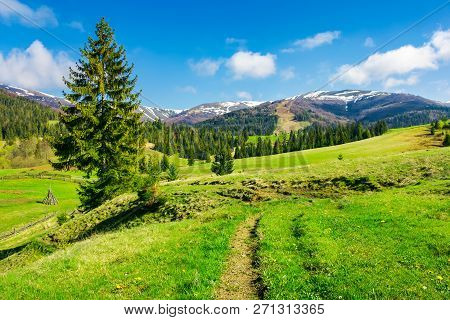 Wonderful Springtime Weather In Mountains. Spruce Trees On A Grassy Meadow. Mountain Ridge In The Di