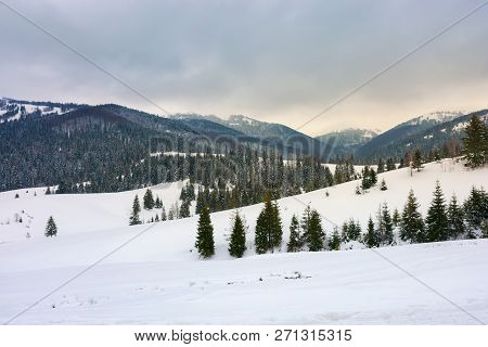 Snow Covered Rolling Hills With Spruce Forest. Beautiful Winter Landscape In Mountains On An Overcas