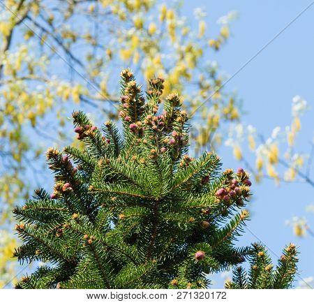 Buds Fir Trees Conifers Nature Sky Macro
