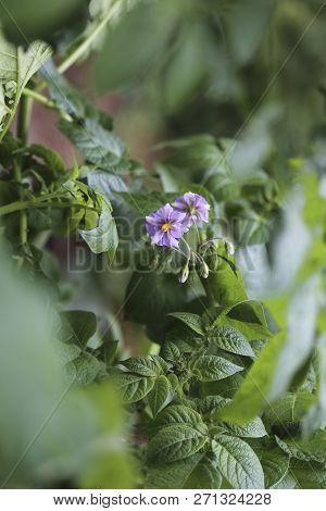 A Purple Flower On A Potato Plant