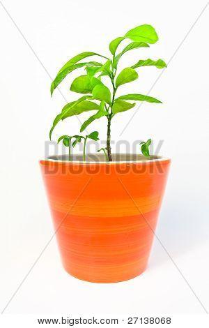 orange tree in a flowerpot