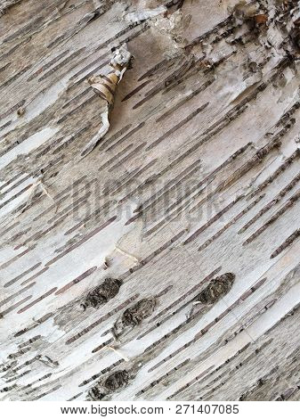 Silver Birch Tree Bark Close Up Diagonal