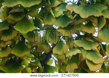 Photo Of A Gingko Tree Filled With Colorful Leaves Outdoors