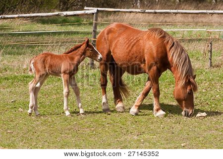 chestnut mare and foel on pasture poster