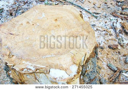 Top View Of Tree Stump. Old Stump Covered In Snow In Winter Forest, Park, Top View