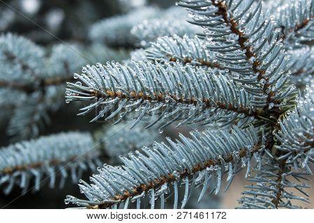 Blue Spruce Conifer Tree Branch Beautiful Winter Background