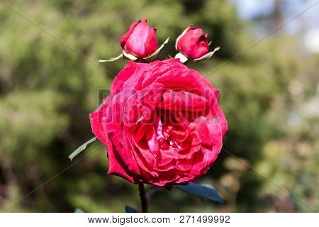 Horizontal Close Up Of A Fully Bloomed Red Rose And Two Buds With Soft Focus Background On A Sunny D