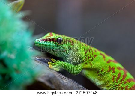 Felzuma Madagascar or day Gecko poisonous green sitting on a tree branch in a terrarium in a pet store poster