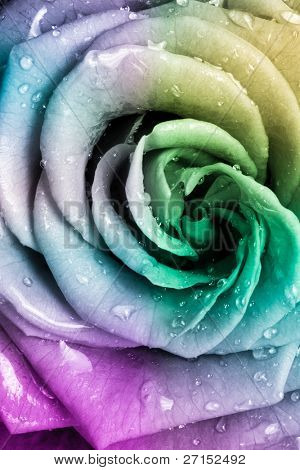 close up of beautiful multicolored rose