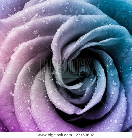 close up of beautiful multicolored rose poster