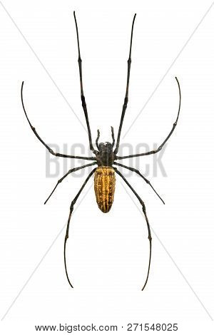 Giant Wood Spider (nephila Maculata) Isolated On A White Background