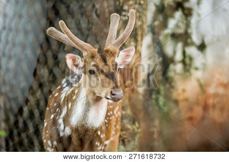 Animal: Chital (cheetal, Spotted Deer, Axis Deer) Is A Species Of Deer Native To Indian Subcontinent
