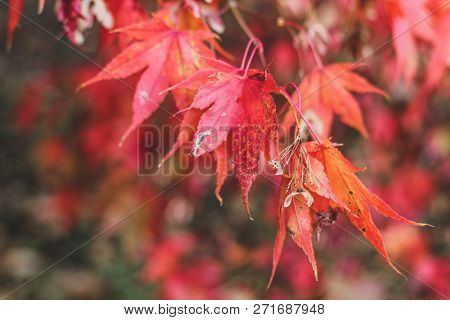 Bright Autumn Background With Elegant Red Japanese Mapple Leaves In Sun Beams. Sunny Fall Greenary P