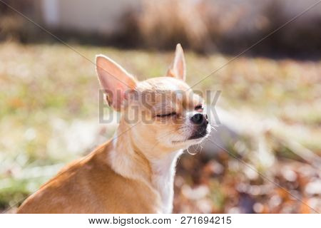 Purebred Chihuahua Puppy Sitting Outside, Relaxing With Her Eyes Closed In The Sunlight.