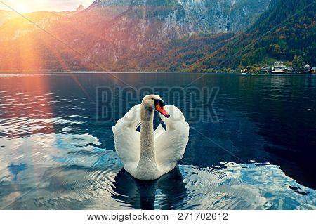 Swan Portrait. Mute Swan (cygnus Olor) Gliding Lake Hallstatt Austria In Sunrise Morning Light. Amaz