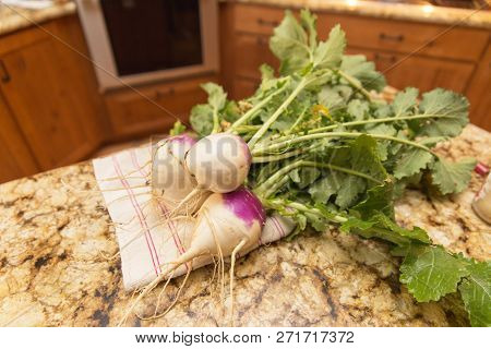 Large, Healthy Turnips Pulled From A Home Garden.