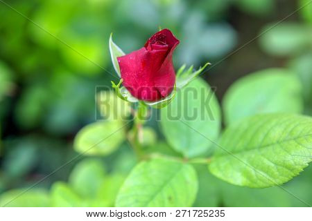 Beautiful Rose In Flower Shop Stock Photos