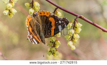 Atalanta Butterfly On A Blooming Twig - Spring In Arboretum Het Leen, Eeklo, Belgium