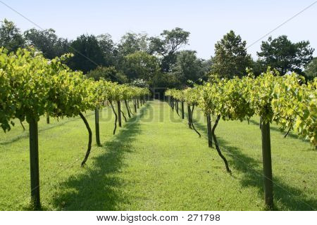 Muscadine Grape Vineyard