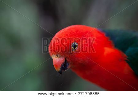 Extreme Closeup Of Beautiful King Parrot On Blurred Background