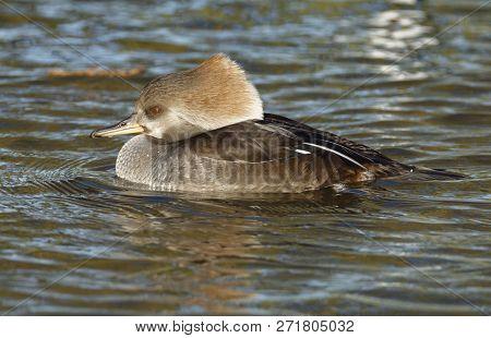 Hooded Merganser - Lophodytes Cucullatus Female Duck On Water