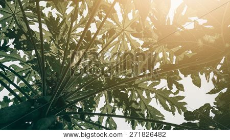 Tropical Green Papaya Leaf Texture Background, Dark Tone With Sun Rise.