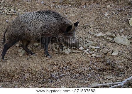 The wild boar (Sus scrofa), also known as the wild swine, Eurasian wild pig, or simply wild pig,is a