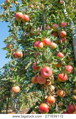 Red Apples On Apple Tree Branch. Apple Orchard On A Sunny Day. Apple Harvest.