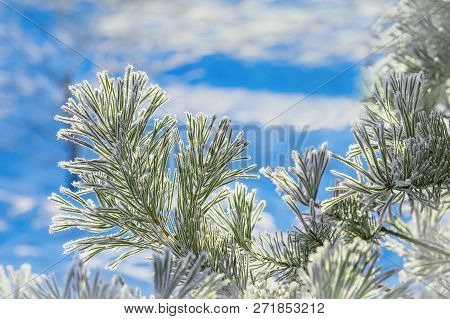 Conifer Branches Close Up With Needles Covered With White Frost On Blurred Background. Winter Scener
