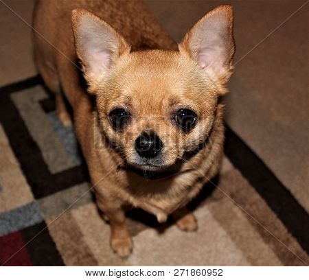 Thoughtful, Tan Chihuahua Waiting Patiently For Attention.