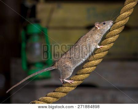 Wild Brown Rat (rattus Norvegicus) On Anchor Rope In Harbor Warehouse Setting