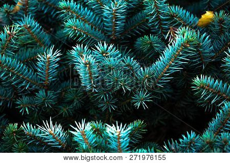 Christmas Fir Tree Branches Background With Copy Space, Christmas Pine Tree Wallpaper.