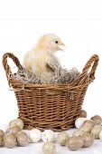 Small two week old chicken sitting in a basket surrounded by eggs poster