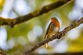 A red robin or Erithacus rubecula. This bird is a regular companion during gardening pursuits. poster