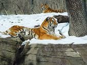 Tigers in the Pittsburgh Zoo laying down in snow poster